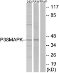 B7179-1 - MAP kinase p38 alpha / MAPK14