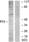 B7181-1 - TP53 / p53