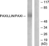 B7192-1 - Paxillin /  PXN
