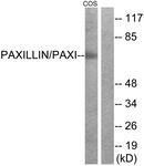 B7193-1 - Paxillin /  PXN