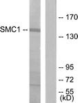 B7217-1 - SMC1A / SMC1