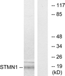 B7230-1 - Stathmin / STMN1