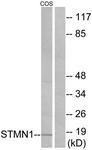 B7231-1 - Stathmin / STMN1