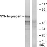 B7233-1 - Synapsin-1