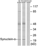 B7234-1 - Alpha-Synuclein / SNCA