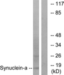 B7235-1 - Alpha-Synuclein / SNCA