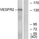 B7252-1 - CD309 / VEGFR-2 / Flk-1