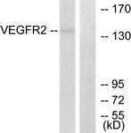 B7253-1 - CD309 / VEGFR-2 / Flk-1