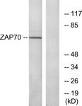 B7255-1 - ZAP70