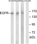 B8025-1 - EGFR / ERBB1