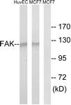 B8032-1 - FAK1 / PTK2
