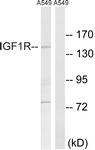 B8042-1 - CD221 / IGF1R