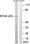 B8049-1 - RELA / NF-kB p65