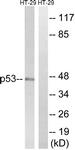 B8052-1 - TP53 / p53