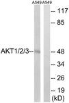 B8075-1 - AKT1 / PKB
