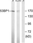 B8284-1 - TP53BP1