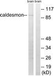 B8309-1 - Caldesmon
