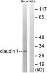 B8316-1 - Claudin-1 / CLDN1