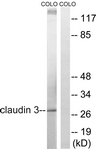 B8317-1 - Claudin-3 / CLDN3