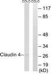 B8318-1 - Claudin-4 / CLDN4