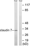 B8321-1 - Claudin-7 / CLDN7