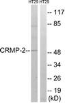 B8324-1 - DPYSL2 / CRMP2