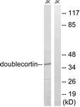 B8337-1 - Doublecortin
