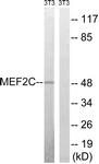 B8370-1 - MEF2C