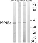 B8402-1 - PPP1R2 / IPP2