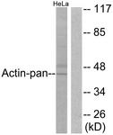 C0124-1 - Actin beta / ACTB