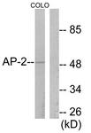 C0127-1 - TFAP2A / AP-2 alpha