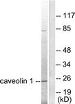 C0139-1 - Caveolin-1