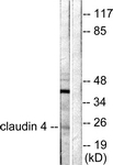 C0141-1 - Claudin-4 / CLDN4