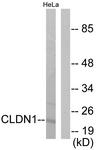 C0142-1 - Claudin-1 / CLDN1