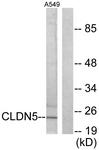 C0145-1 - Claudin-5 / CLDN5
