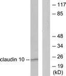 C0151-1 - Claudin-10 / CLDN10