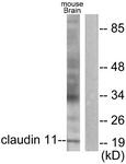 C0152-1 - Claudin-11 / CLDN11