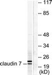 C0153-1 - Claudin-7 / CLDN7