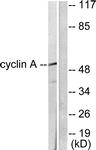 C0165-1 - Cyclin A1