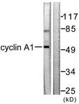 C0166-1 - Cyclin A1