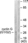 C0169-1 - Cyclin G1