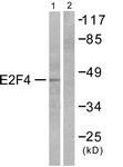 C0178-1 - E2F4