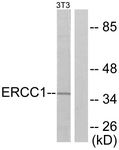 C0184-1 - ERCC1