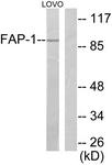 C0188-1 - Seprase / FAP