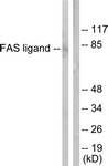 C0189-1 - CD178 / Fas Ligand
