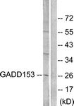 C0202-1 - GADD153 / CHOP