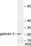 C0203-1 - Galectin-3