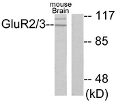 C0207-1 - mGluR2 / GRM2