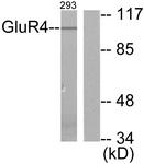 C0208-1 - mGluR4 / GRM4