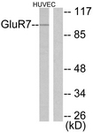 C0211-1 - mGluR7 / GRM7